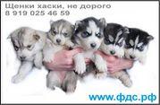 Щенки Хаски,  1, 5 м,  черно-белые и серо-белые (волчий тип)