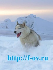 Опытный Кабель Сибирский Хаски приглашает на вязку