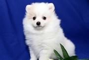 Великолепная щенки шпица