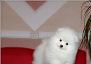 Великолепная щенки шпица ,  искрящаяся шерсть не имеет запаха,  не