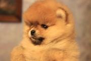 Продаются померанские щеночки
