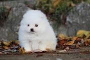 Чистокровные белый Померанский Бу