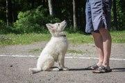Продаем щенков Белой Швейцарской Овчарки